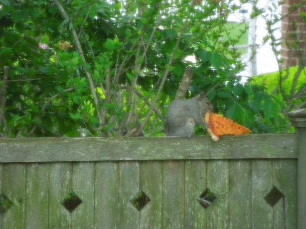 Squirrel Bogarting Pizza!